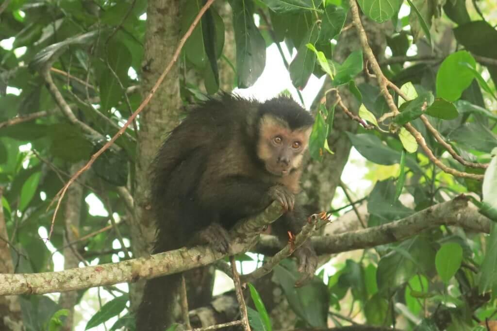 Monkey found at Tijuca National Park, Rio de Janeiro