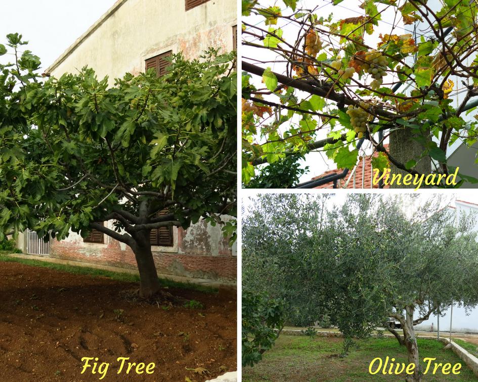 Fig tree, vineyard, and olive tree on Ugljan island, Croatia