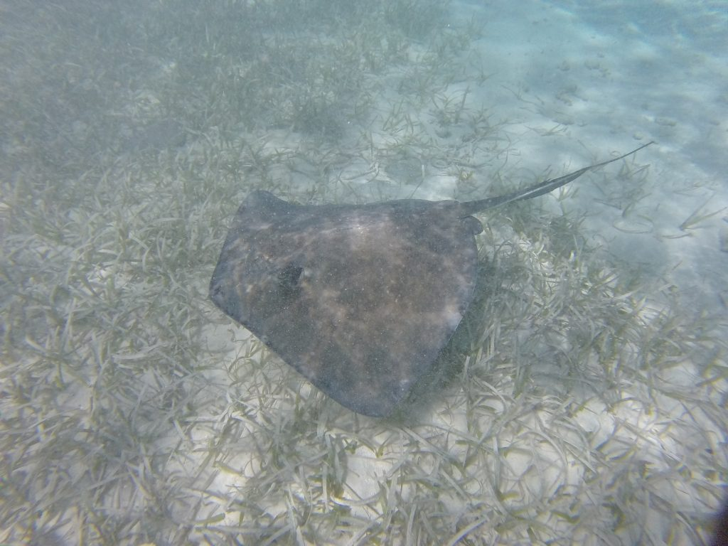 Stingray in Caye Caulker