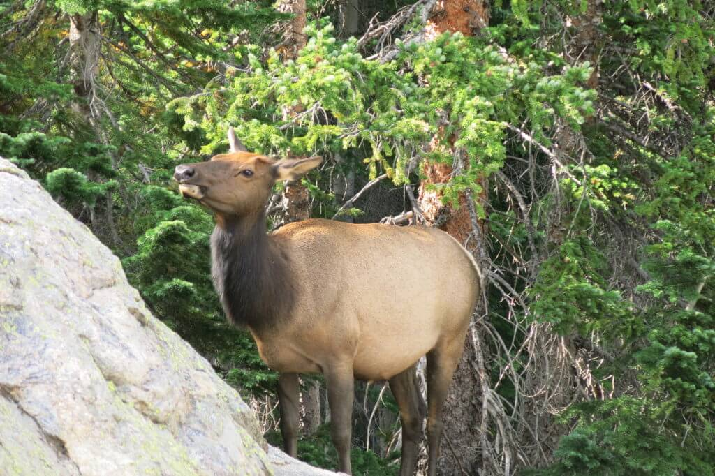 An Elk at Rocky Mountain National Park