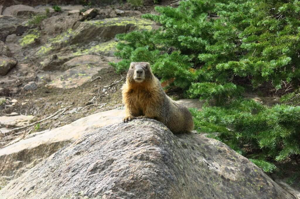 Marmot on Old Fall River Road