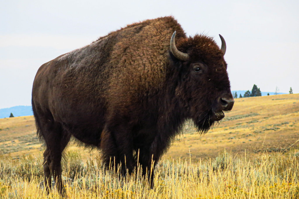 Upclose shot of a Bison